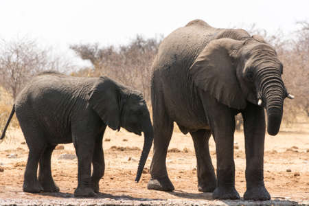national parks: Group of elephants near waterhole, seen and pictured in several national parks in namibia, africa.