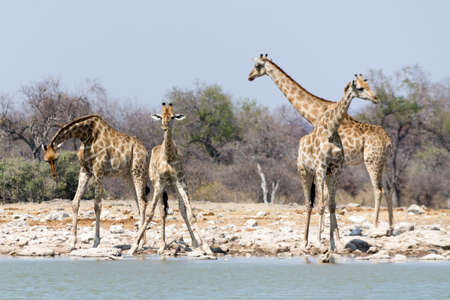 national parks: Group of Giraffes at waterhole, seen and pictured in several national parks in namibia, africa.