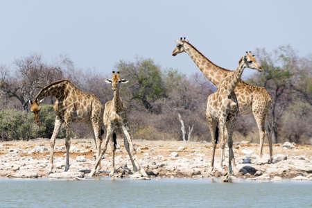 pozo de agua: Grupo de jirafas en la charca, visto y fotografiado en varios parques nacionales en Namibia, África.