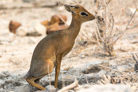 national parks: Damara dik dik in bushland, seen and pictured in several national parks in namibia, africa.