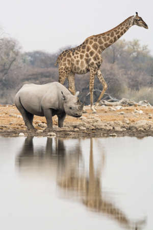 pozo de agua: Group of giraffe and rhinoceros at waterhole in the late afternoon, seen and pictured in several national parks in namibia, africa.