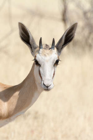 national parks: Springbok in Namibia, seen and pictured in several national parks in namibia, africa.