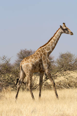 national parks: Lonely Giraffe, seen and pictured in several national parks in namibia, africa. Stock Photo