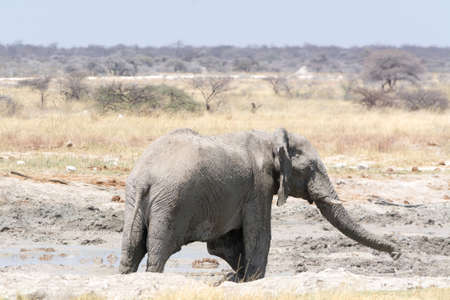 national parks: Lonely grey Elephant in the desert, seen and pictured in several national parks in namibia, africa.