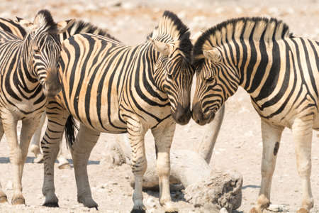 national parks: Zebra in Etosha National Park, Namibia, seen and pictured in several national parks in namibia, africa.