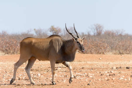 national parks: Eland near waterhole, seen and pictured in several national parks in namibia, africa.