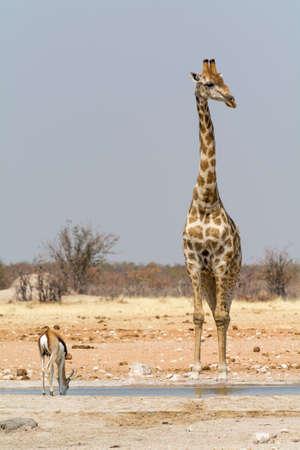 pozo de agua: Jirafa en el pozo de agua, visto y fotografiado en varios parques nacionales en Namibia, �frica. Foto de archivo