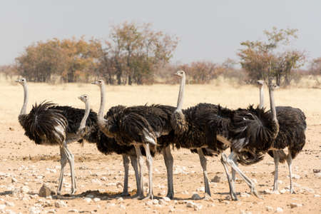 national parks: Group of Ostriches, seen and pictured in several national parks in namibia, africa.