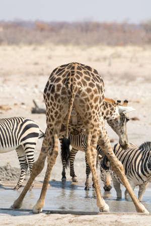at waterhole: Jirafa y cebras en el pozo de agua, vistos y fotografiados en varios parques nacionales en Namibia, África.