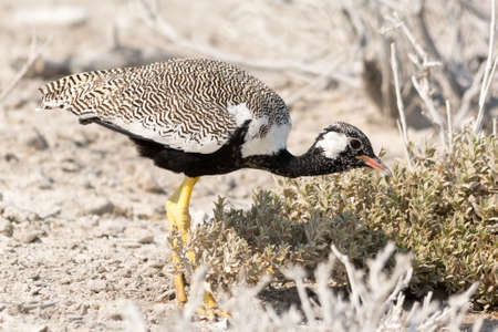 national parks: courser bird on the search for food, seen and pictured in several national parks in namibia, africa.