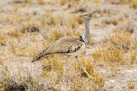 national parks: Kori bustard in grass land, seen and pictured in several national parks in namibia, africa.