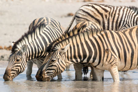 pozo de agua: Zebras drinking water at waterhole, seen and pictured in several national parks in namibia, africa. Foto de archivo