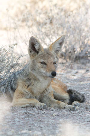 national parks: Black backed jackal hiding in the shadow, seen and pictured in several national parks in namibia, africa.