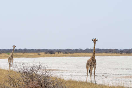 national parks: Pair of Giraffes walking at the border of salt pan, seen and pictured in several national parks in namibia, africa.