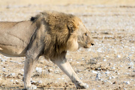 national parks: Lion on the walk through the desert, seen and pictured in several national parks in namibia, africa.