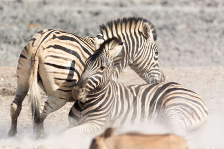 national parks: Zebras fighting, seen and pictured in several national parks in namibia, africa. Stock Photo