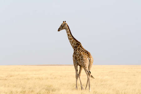 national parks: Giraffe walking through the desert, seen and pictured in several national parks in namibia, africa. Stock Photo