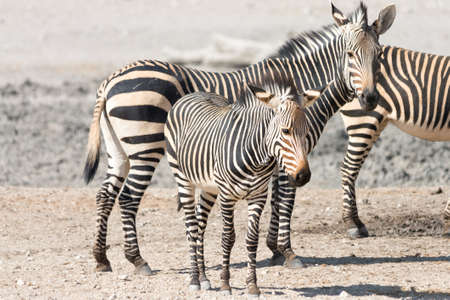 national parks: Zebra family with kitten, seen and pictured in several national parks in namibia, africa. Stock Photo