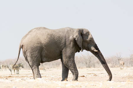 national parks: Lonely Elephant at waterhole, seen and pictured in several national parks in namibia, africa. Stock Photo