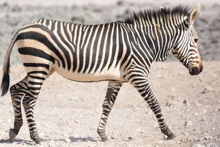 national parks: Walking zebra, seen and pictured in several national parks in namibia, africa.