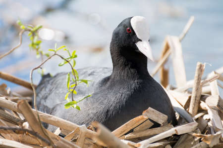 coot: Portrait of a breeding black coot, seen in April 2016 at hoehenfelder sea, cologne, germany Stock Photo