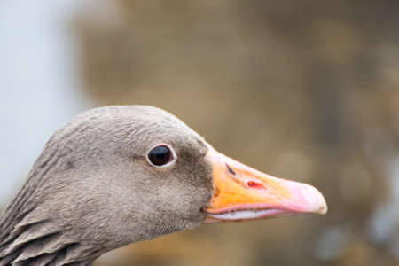 goose head: Portrait of an adult grey goose head, seen at hoehenfelder sea part of cologne, germany, europe.