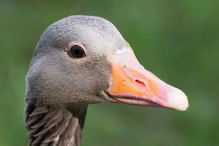 goose head: Portrait of a gray goose head close up seen in spring 2016 at hoehnfelder see, a lake near cologne, germany, europe.