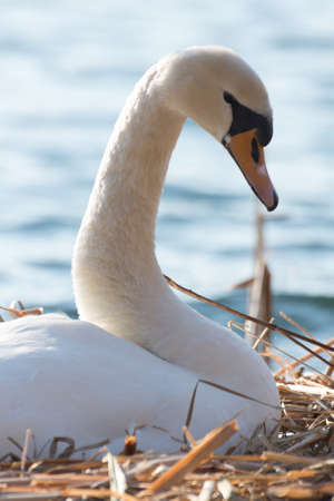 olor: Potrait of a breeding swan (cygnus olor) swimming in a lake near cologne, germany.