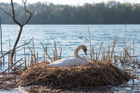 potrait: Potrait of a breeding swan (cygnus olor) swimming in a lake near cologne, germany.