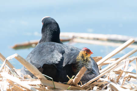 Black Coot with Chicks seen and shot at hoehenfelder sea, near cologne, germany in spring 2016