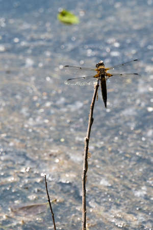 insecta: Dragon Fly seen and shot in spring 2016 at hoehenfelder sea, germany, europe