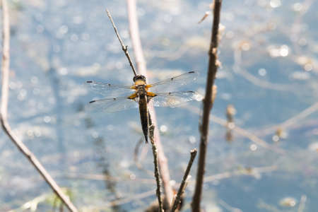 odonata: Dragon Fly seen and shot in spring 2016 at hoehenfelder sea, germany, europe