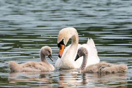 pollitos: White Swan Family With Chicks. Seen at a lake near cologne hoehenfelder see in spring 2016.