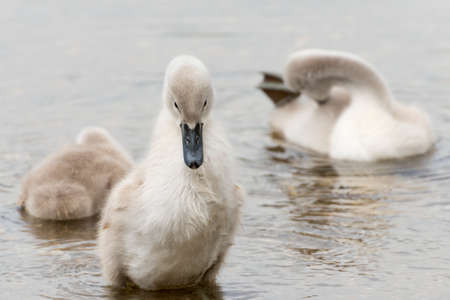 White Swan hatchling. Seen at a lake near cologne hoehenfelder see in spring 2016.
