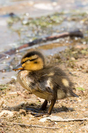 anseriformes: Portrait of a young Duckling. Family of Wild Ducks (Mallard) seen in Spring 2016 at a lake (Hoehenfelder See) near Cologne, Germany.