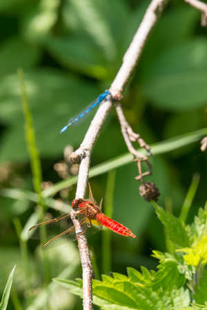 Dragonfly in spring 2016, seen at a lake (hoehenfelder sea) near cologne, germany, europe. Stock Photo
