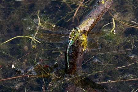 odonata: Dragonfly in spring 2016, seen at a lake (hoehenfelder sea) near cologne, germany, europe. Stock Photo