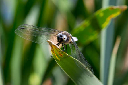 insecta: Dragonfly in spring 2016, seen at a lake (hoehenfelder sea) near cologne, germany, europe. Stock Photo