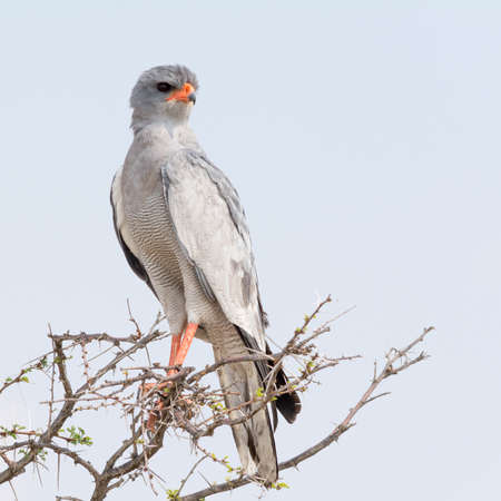 Pale Chanting Goshawk, seen in namibia, africa. Stock Photo