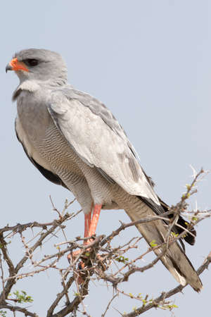 canorus: Pale Chanting Goshawk, seen in namibia, africa. Stock Photo