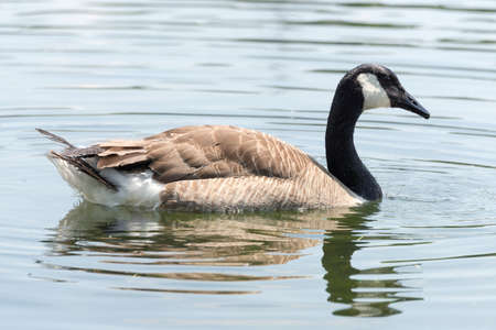 swimm: Canadian Goose (Kanada Gans), seen in spring 2016 at a lake (Hoehenfelder See) near Cologne, Germany, Europe.