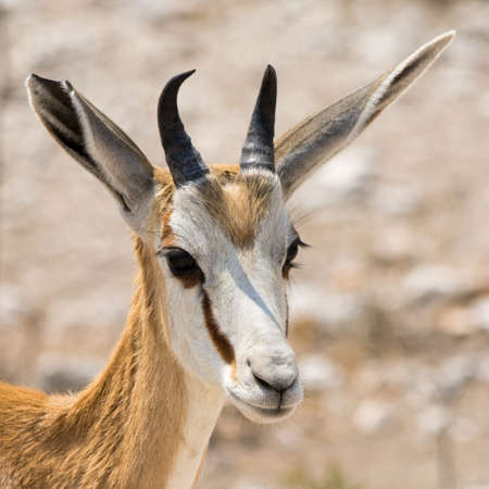 springbok: Portrait of a Springbok, seen in namibia, africa.