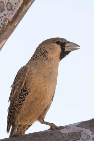 weaver bird: Female Weaver Bird, seen in namibia, africa. Stock Photo