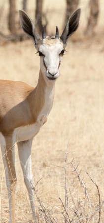 antidorcas: Portrait of a Springbok, seen in namibia, africa.