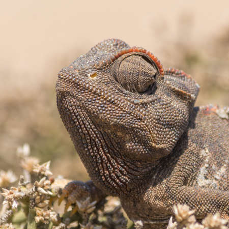 africa chameleon: Portrait of a Chameleon, seen in namibia, africa.