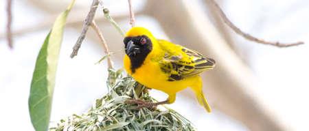 weaver bird: Male Weaver Bird building a Nest, seen in namibia, africa. Stock Photo