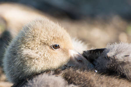 anseriformes: Portrait of a young Greylag Goose Chick. Seen in Spring 2016 at a lake (hoehenfelder see) near cologne, germany, europe