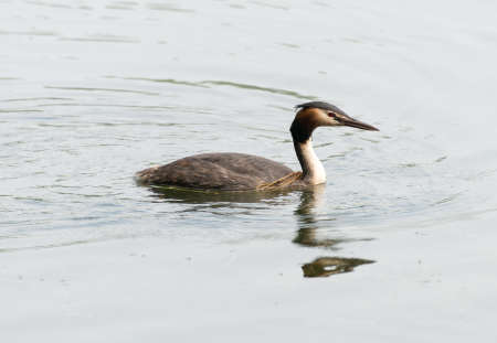 swimm: Family of great crested grebes, seen in spring 2016 at a sea (hoehenfelder sea) near cologne, germany. Stock Photo