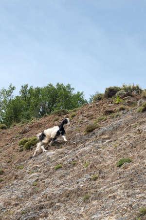 kreta: goat climbing in a mountain wall at crete, greece, europe