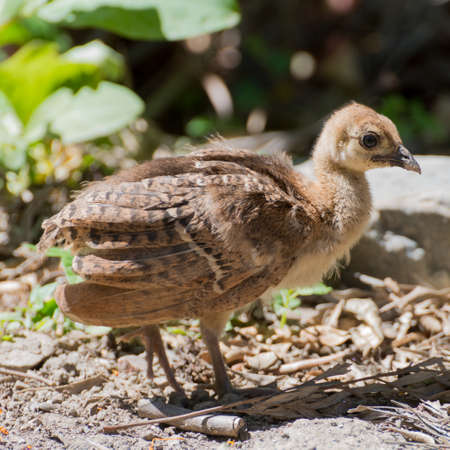 hatchling: Portrait of a common turkey (Meleagris gallopavo) chicklet in natural environement